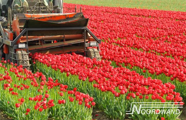 Foto behang Tulip Field Noordwand