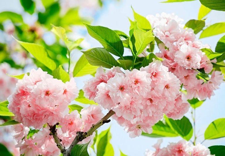 Foto behang Sakura Blossom 00133