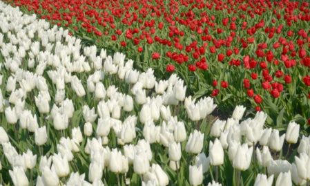 Foto behang Gele en Rode Tulpen Holland 8123