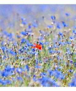 Fotobehang - Een hemel-gekleurde weide - korenbloemen-2