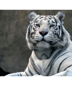 Fotobehang - Bengaalse tijger in dierentuin-2