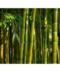 Fotobehang - Aziatische bamboebos-2